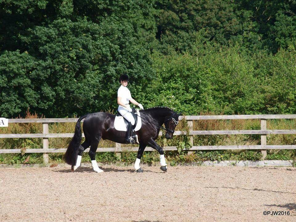 Electrolytes Help Brevan to Succeed at Dressage Competition in Hot Weather