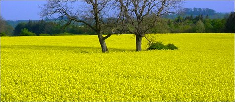 The wonderful yellow countryside is soon to be upon us..